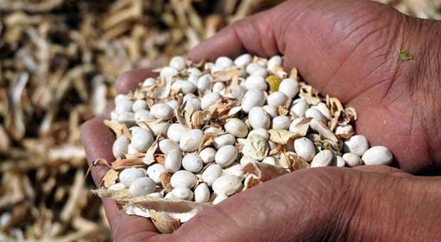 Kuru fasulye üretiminde rekor
