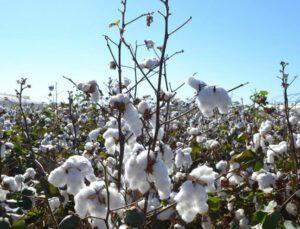 beyaz altında hasat başladı, üretici antbirlik fiyatını bekliyor