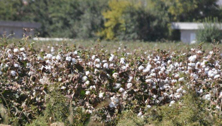 haran ovası'nda pamuk üreticisi altın yılını yaşıyor