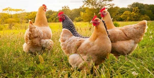 tavuk eti üretimi yüzde 7,1 azaldı