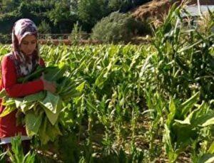 tütün tarlasında çalışan genç kız, tıp fakültesi kazandı