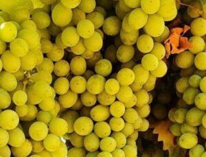 tarsim'den sigortalı üzüm üreticilerine 550 milyon tl'ye yakın hasar ödemesi