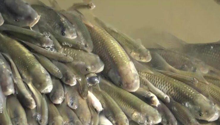 yeşilırmak'ta üzen görüntüler: balıklar böyle çırpındı