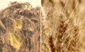 Kırklareli'nde buğdayda verim arttı, ayçiçeğini kuraklık vurdu